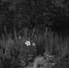 Field flowers (masamiy21) Tags: monochrome japan zeiss jena carl osaka 80 f28 pentacon6 biometar