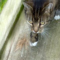 Le chat, France 2015 (annegrandin) Tags: winter france composition cat square movement chat hiver creative yeux hunter flou hunt gros mouvement chasse carr boug jaunes chasseur tigr cratif