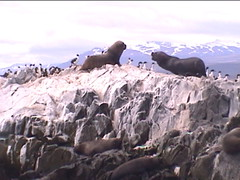 Sparring Sea Lions