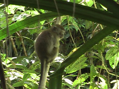 Long Tailed Macaque in Bako