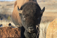 Bison 2 3-6-15 (Larry Smith2010) Tags: oklahoma buffalo wichitamountains bison wichitamountainswildliferefuge larrysmith