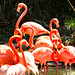 Pink flamingoes in the pool