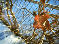 77:365 Vine (Camera Eye Photography) Tags: lighting light brown snow ontario canada cold nature fence leaf spring bokeh awesome vine explore grape app day77 oshawa enlight day77365 iphone6 365the2015edition 3652015 18mar15