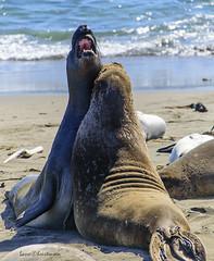 Elephant seals near San Simon (lasse christensen) Tags: dsc5650 usa california highway1 highwayone sansimon elephantseals elefantseler