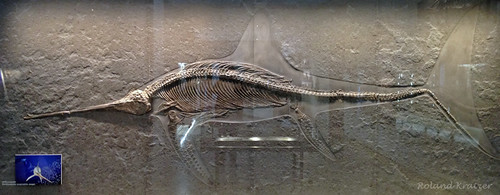Eurhinosaurus longirostris Jaeger