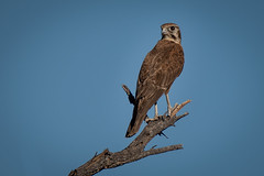 Mr Magnificent  Brown Falcon,  DSC_9436 (BlueberryAsh) Tags: brownfalcon raptor birdofprey bird australianbird litchfieldnationalpark northernterritory animal topend nikond750 tamron150600