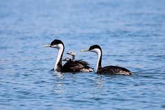 Western Grebe with young_5670 (2) (cpalmerpics) Tags: family arizona lake bird nature birds westerngrebe rooseveltlakearizona