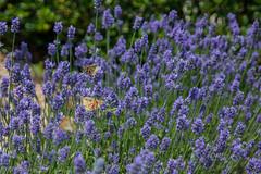 IMG_7797 (ElsSchepers) Tags: limburglavendel lavendelhoeve stokrooie kuringen hasselt natuur vlinders
