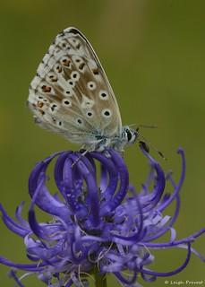 Chalkhill Blue, Polyommatus coridon