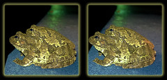 Moonlight Maneuvers 1 - Crosseye 3D (DarkOnus) Tags: moonlight maneuvers pennsylvania buckscounty huawei mate8 cell phone 3d stereogram stereography stereo darkonus closeup macro frog treefrog eastern gray copes amphibian herp crossview crosseye