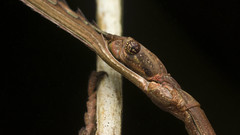 A lazy stick (zleng) Tags: brown macro closeup insect sony malaysia stick mimicry macroshot phasmid stickinsect pretending macrophotography compoundeyes insectcloseup ghostinsect macrodreams sonya77