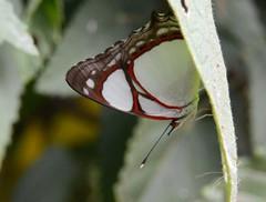 Pyrrhogyra neaerea (robertoguerra10) Tags: red white black butterfly borboleta preta vermelha branca nymphalidae