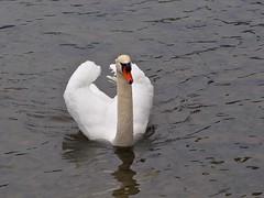 P4091679 (Ken Whittle) Tags: cruise swan viking muteswan lakelucerne