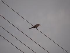 DSC04983 Sabi-Do-Campo (familiapratta) Tags: bird nature birds brasil iso100 sony natureza pssaro aves pssaros novaodessa novaodessasp hx100v dschx100v
