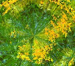 Wild Flowers - HSS (Ramona H) Tags: distortion manipulation playing color daisies hss sliderssunday polarcoordinates posterized