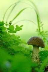 ...le Champignon Arigeois... (fredf34) Tags: arigeoise pyrnesarigeoises pyrnes fredf34 fredfu34 france pentax pentaxk3 k3 smcpentaxa35105mmf35 panagor12mm mountain macro vert fungus mushroom auluslesbains nature natur bokeh arigeoises arige