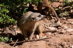 Erdmnnchen (Nereus[GER]) Tags: neunkirchen zoo canon eos 70d tamron 150600mm erdmnnchen