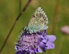 Bluling (Hugo von Schreck) Tags: hugovonschreck butterfly bluling falter schmetterling insect insekt makro macro canoneos5dsr tamron28300mmf3563divcpzda010 givemefive onlythebestofnature