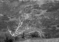 ScrubOak I (Joe Josephs: 2,861,655 views - thank you) Tags: landscapephotography landscapes landscape california californiacentralcoast californiacoast californialandscape travelphotography travel joejosephsphotography joejosephs joejosephstravelphotography outdoorphotography fineartphotography fineartprints photojournalism photographynikon blackandwhitephotography