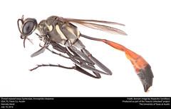 Thread-waisted wasp (Sphecidae, Ammophila cleopatra) (insectsunlocked) Tags: hymenoptera sphecidae ammophilinae ammophila ammophilacleopatra acleopatra
