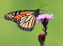 monarch male on meadow blazing star at Decorah Prairie IA 854A3651 (lreis_naturalist) Tags: monarch butterfly male meadow blazing star nectaring decorah prairie winneshiek county iowa larry reis