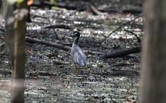 Yellow Crowned Night Heron_0393 (Porch Dog) Tags: 2016 garywhittington kentucky nikond750 fx nikon200500mm summer july slough birds avian feathers wildlife nature
