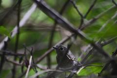 Hutton's Vireo (northamericaroks) Tags: outdoor animal bird vireo bush ludlow washington jefferson puget pajaro ave vireonidae