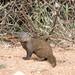Morning mongoose