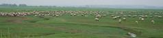 moutons de pr sal - Somme (jmsatto) Tags: moutons troupeau prssal somme picardie