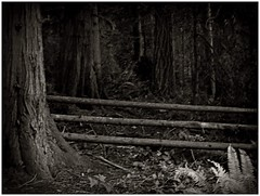 Forest Fence (CanMan90) Tags: fence friday forest wooden rail bw trees ferns cedar britishcolumbia yellowpointroad canon sx40hs pointshoot outdoors