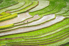 Rice fields on terraced of Tu Le, YenBai, Vietnam. (:: Focus Studio ::) Tags: agriculture asia asian cat china cloud colorful cottage country county culture curve earth ethnic farm field food green ground harvest horticulture house hut land landscape laocai light line morning mountain nature paddy patchwork philippines plant plantation regulation rice rough saigon sapa soil terrace tourism traditional travel valley vietnam village yellow outdoor