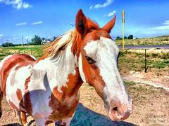 Pinto Pony in Eastern Colorado (Travel to Eat) Tags: pinto horse colorado americana plains prairie farming summer green