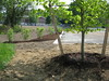 28 Tree planted (chelmsfordpubliclibrary) Tags: cpl chelmsford chelmsfordpubliclibrary chelmsfordlibrary greenway