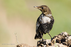 Ring Ouzel (Esmaeel Bagherian) Tags: ringouzel esmaeelbagherian bird birdsphotography birds birdsofiran birdwatcher birdwatching 2016 1395 merleaplastron turdustorquatus          tamron tamron150600 nikon nikond7000