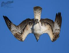 Osprey Dive 8_22 (krisinct- Thanks for 12 Million views!) Tags: nikon d500 500 f4 vrg
