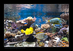 ALAIN2poissons6614 (kactusficus) Tags: marine reef aquarium alain captive ecosystem rcifal acanthuridae chirurgien surgeonfish tang zebrasoma flavescens yellow acanthurus dussumieri