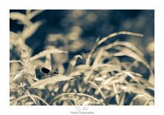 Calo (Naska Photographie) Tags: naska photographie photo photographe paysage proxy proxyphoto macro macrophotographie macrophoto insectes extrieur nature sauvage agrion odanate caloptryx libellule eos canon sigma 6d