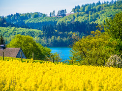 Summer is coming (jonasschmidt1909) Tags: canola raps yellow lake sauerland olympus em10