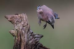 Eurasian Jay (Mr F1) Tags: eurasianjay johnfanning bif birdsinflight jump launch wild blue colourful detail closeup stump perch
