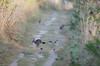 chemin creux, petit matin (Harald DUGENET) Tags: wildkaninchen wildrabbit lapindegarenne oryctolaguscuniculus 兔