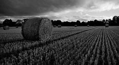 Harvest (Dave.Miles) Tags: olympus olympusom1n olymousom1n 35mm 35mmfilm blackandwhite swindon staffordshire harvest corn haystacks halfpennygreen