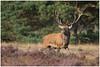 Red deer - Edelhert (in jagersjargon roodwild)  (Cervus elaphus) (Martha de Jong-Lantink) Tags: burlen callunavulgaris cervuselaphus commonheather dewildbaan dewildbaaninhetparkdehogeveluwe edelhert edelherten edelhertenopdeveluwe gerderland hertenbronstparkhogeveluwe nationaalparkdehogeveluwe nederland paarseheide reddeer thenetherlands wildbaan 2016