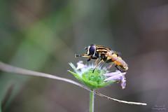 Hlophile (Mariie76) Tags: animaux insectes diptres mouche syrphe hlophile helophilus fleur ptales roses macrophotographie macro petit toilette pattes verdure nature jaune ray noir rayures
