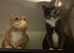 My babbys! Being daredevils on top of the bookshelf. (hump muffin) Tags: cat cats mochi maki cute orangetabby grey orange animal adorable meow