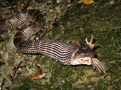 Red-banded snake eating frog (wattanumpty) Tags: redbanded frog taipei taiwan dinodonrufozonatum snakeeating