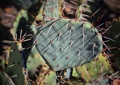 Do Not Touch Me! (Cooling Down Again Yay!!!) Tags: nikond750 pricklypearcactus nopal pad green spikes sharp barbed inthefrontyard odc pointy
