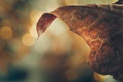 Golden autumn (RoCafe) Tags: autumn leaf macro bokeh golden nature light nikkormicro105f28 nikond600