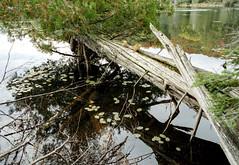 Cedar Reaching Out Over the Water (Bill Smith1) Tags: asahipentaxkx believeinfilm billsmithsphotography fall2016 heyfsc jacksonlake lomo400c41 muskoka smcpentaxm50f14lenslens filmshooterscollective