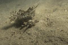 greedy crab vs poor jellyfish (ShinWw) Tags: wildlife underwater behavior