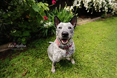 Good girl! (dana.nikolova (india-eve)) Tags: dog dogs perro hond hund canine k9 pup puppy pooch pet love petportrait dogportrait petphotography portraiture green lush garden outdoor loely sweet beautiful goodgirl smile park spring wideangle grass plants flowers colourful fresh bestfriend chien canon 6d